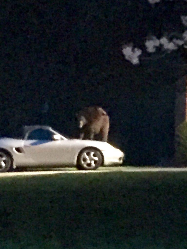 Bear On A Porsche